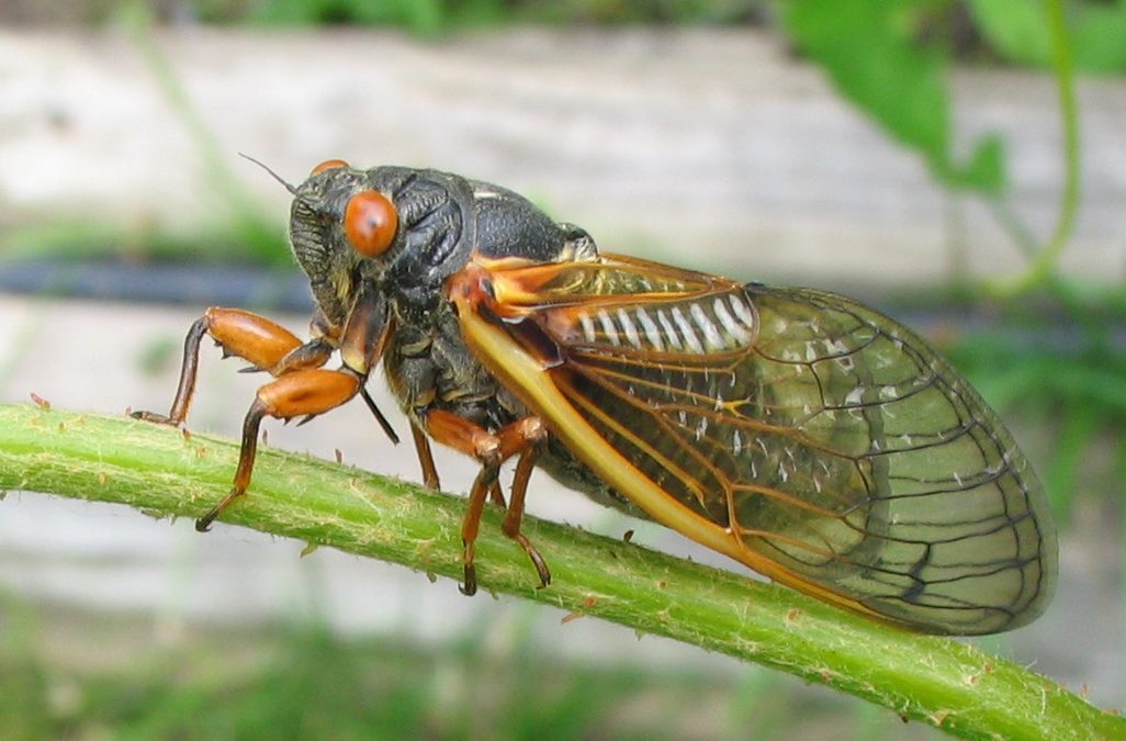 Eric Wenger of Complete Lawn Care talks about Cicadas in The Seed Newsletter