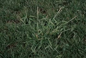 Lawn Weeds- crabgrass