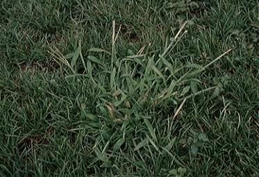 Lawn Invasion: Crabgrass and Japanese Stiltgrass