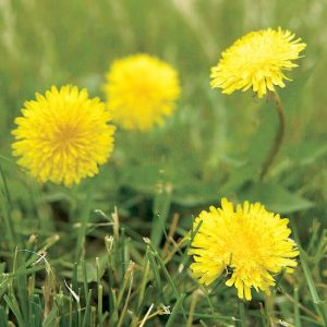 Lawn Weeds- dandelion