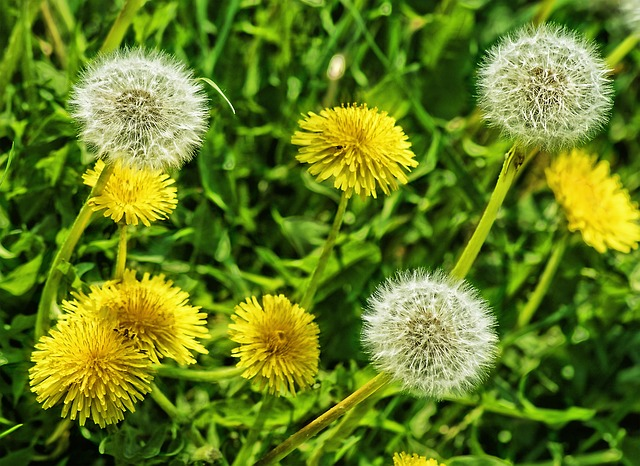 Dandelions in your lawn