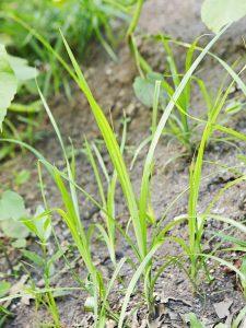 Lawn Weeds- nutsedge