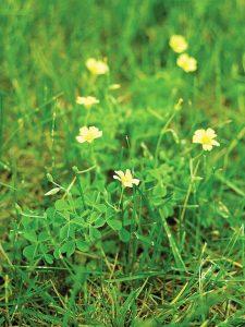Lawn Weeds- oxalis