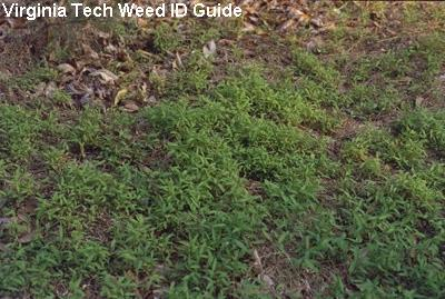 Lawn Weeds- stiltgrass