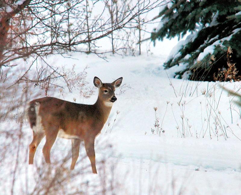 winter_deer